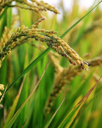 in-rice-field-2679153_640